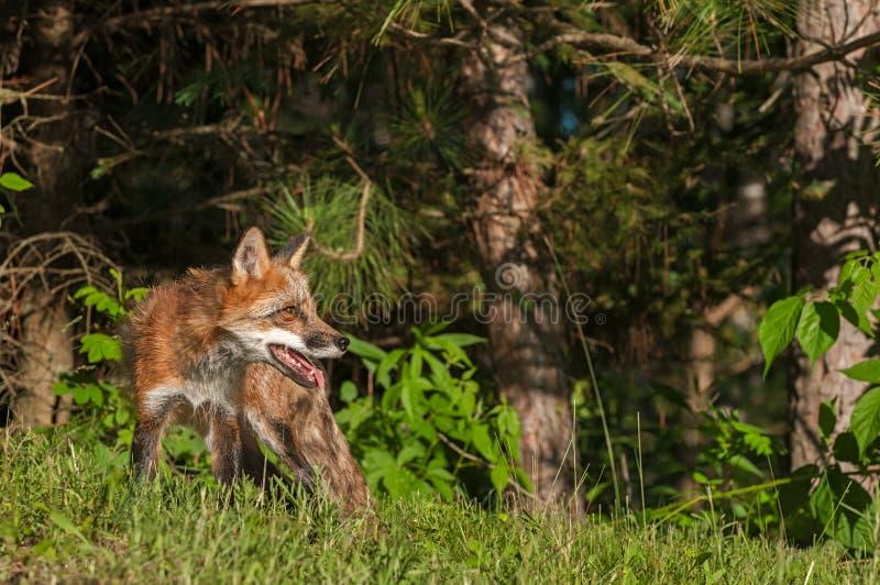 Vixen красного Fox (лисица лисицы) на крае древесин стоковое изображение