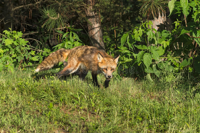 Vixen красного Fox (лисица лисицы) проползает из древесин стоковые фото