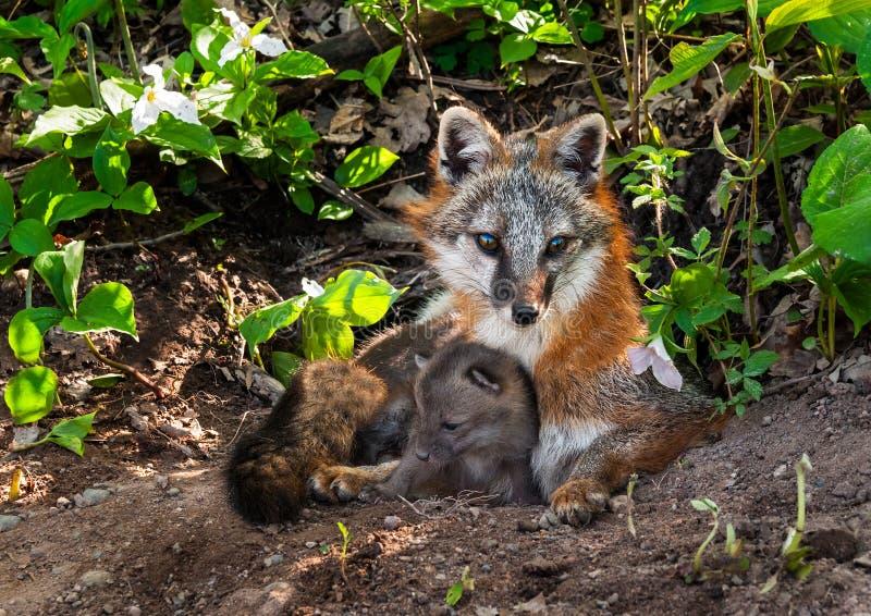 Vixen y Kit Cuddle de Grey Fox (cinereoargenteus del Urocyon) fotografía de archivo libre de regalías
