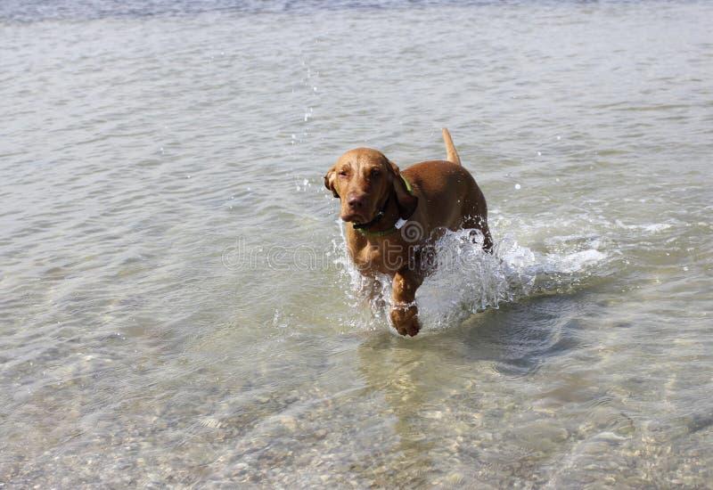 Vizsla Мадьяра собаки стоковая фотография