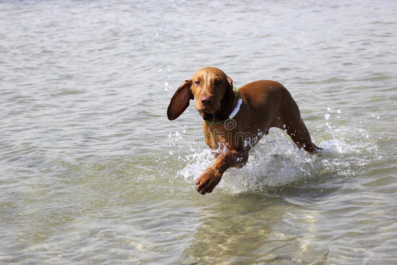 Vizsla Мадьяра собаки стоковые изображения