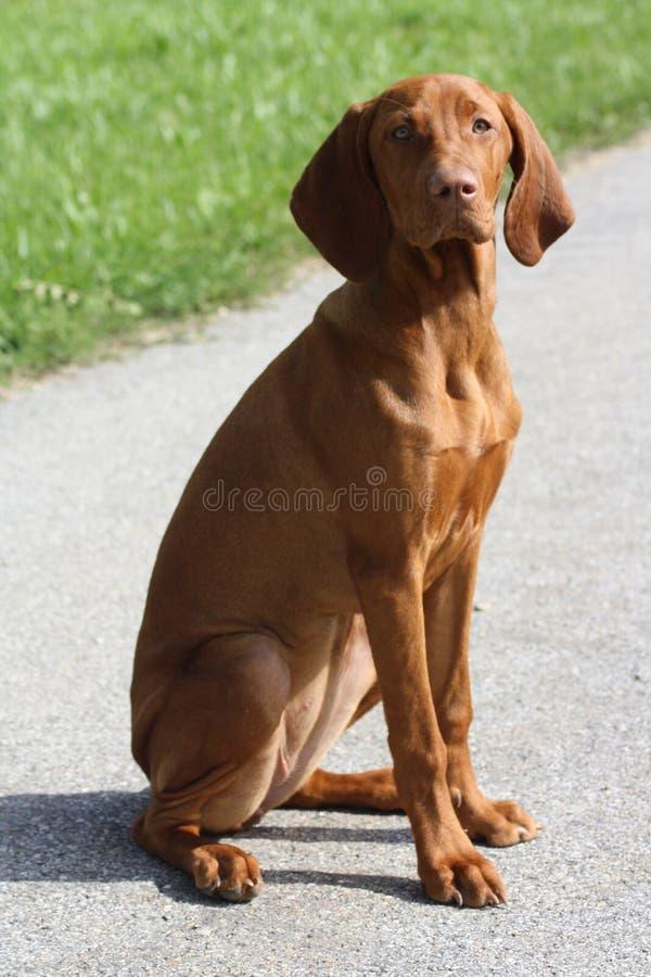 vizsla щенка magyar стоковое фото rf