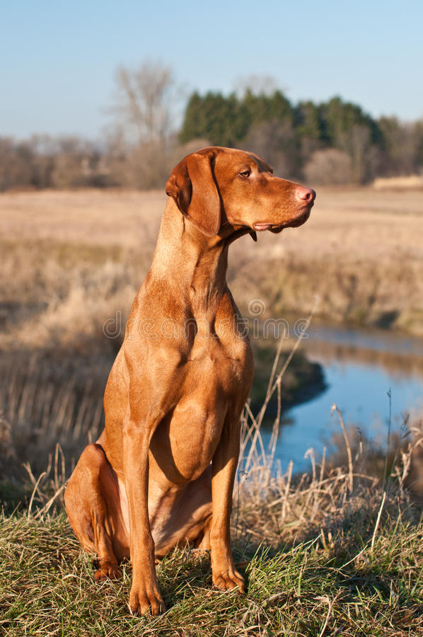 Free Vizsla Dog Sitting In A Field Stock Image - 18282901