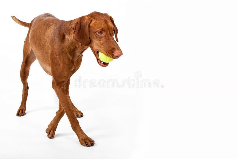 Vizsla dog with tennis ball stock image
