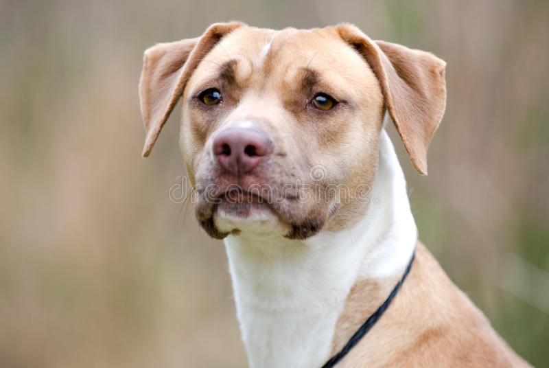 Vizsla Hound Pitbull mixed breed dog. Vizsla Hound Pitbull Lab mixed breed dog, outdoor humane society adoption photo, pet photography for Walton County Animal royalty free stock image
