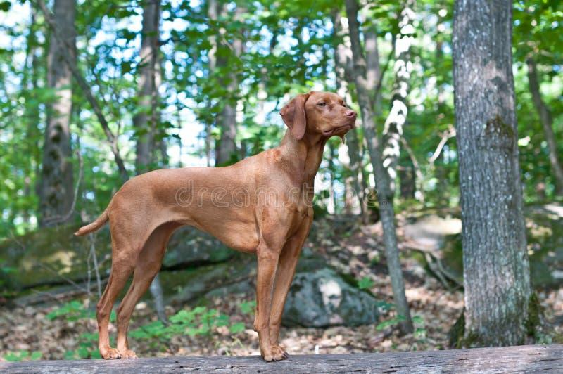 Vizsla Hund, der auf einem Protokoll steht stockfoto
