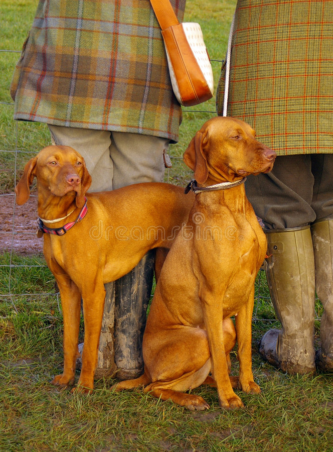 Vizsla Hunde lizenzfreie stockfotos