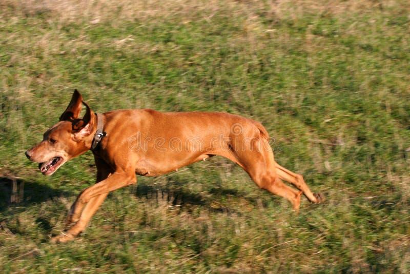 Vizsla pies biega przez lato łąkę fotografia royalty free