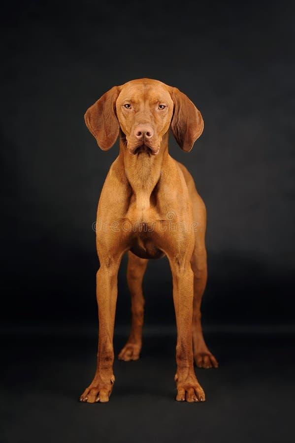 Vizsla psa pozycja na czarnym tle fotografia royalty free