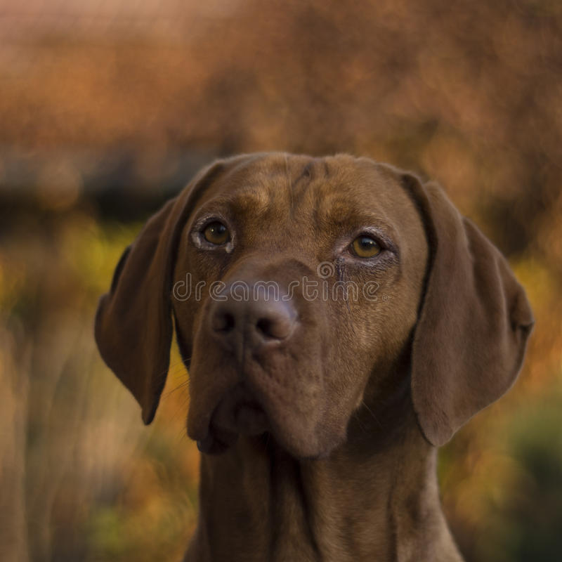 Vizsla węgierski Pies zdjęcia royalty free