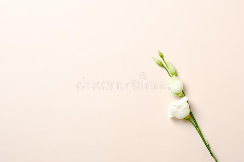 Vlak leg, nam de hoogste meningsnevel tak met wit bloemblaadje op pastelkleur roze achtergrond toe Vrouwelijke achtergrond met ex stock afbeelding