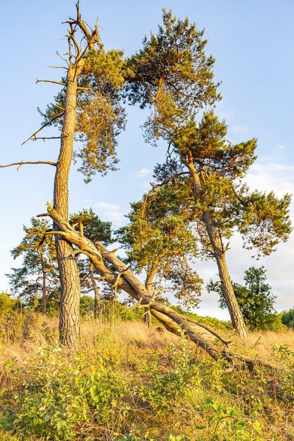 Vlak vóór zonsondergang krijgt dit gebied met gebroken bomen, een geelachtige kleur stock foto