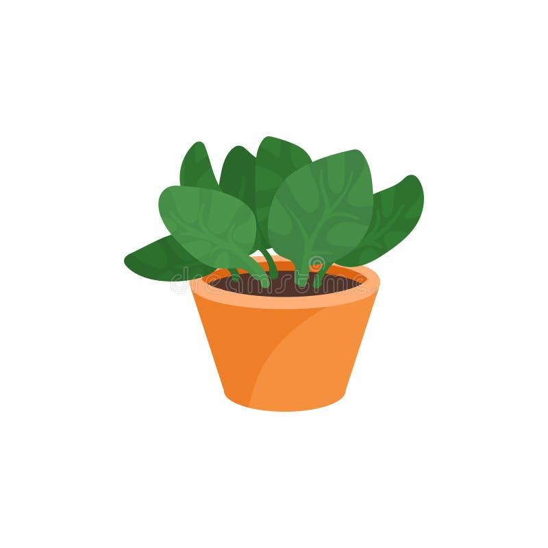 Vlak vectorpictogram van peperomiainstallatie in bruine ceramische pot Kleine decoratieve houseplant met brede groene bladeren vector illustratie
