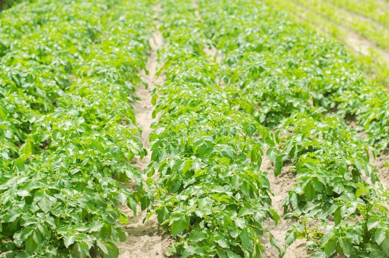 Vlakke bedden op het gebied met aardappels Groene aardappelstruiken met aardappelknollen Landbouwersgebied, de organische landbou stock afbeeldingen