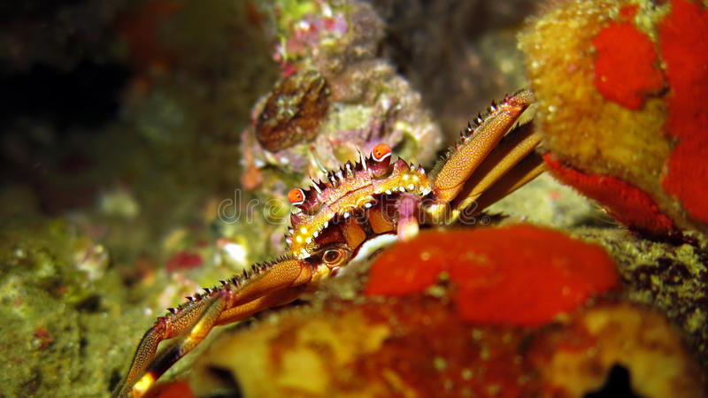 Vlakke Rotskrab royalty-vrije stock foto