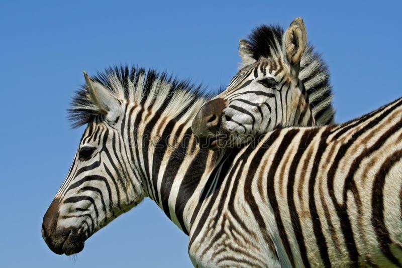 Vlaktes Zebras royalty-vrije stock afbeelding
