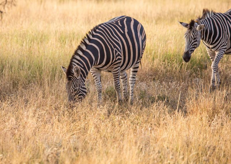 Vlakteszebra bij het Nationale Park van Kruger stock afbeeldingen