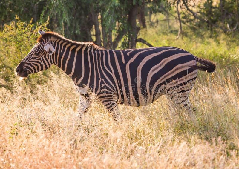 Vlakteszebra bij het Nationale Park van Kruger royalty-vrije stock afbeelding