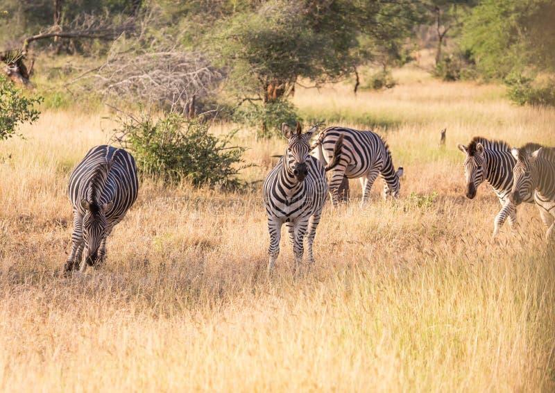 Vlakteszebra bij het Nationale Park van Kruger stock afbeelding