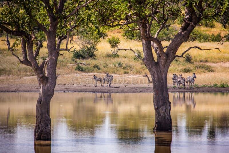 Vlakteszebra bij het Nationale Park van Kruger royalty-vrije stock afbeeldingen