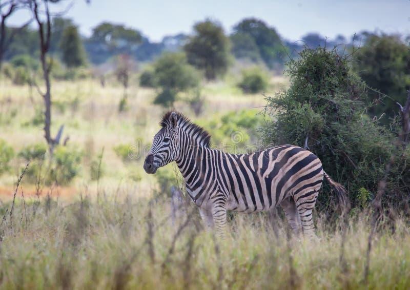 Vlakteszebra bij het Nationale Park van Kruger royalty-vrije stock fotografie