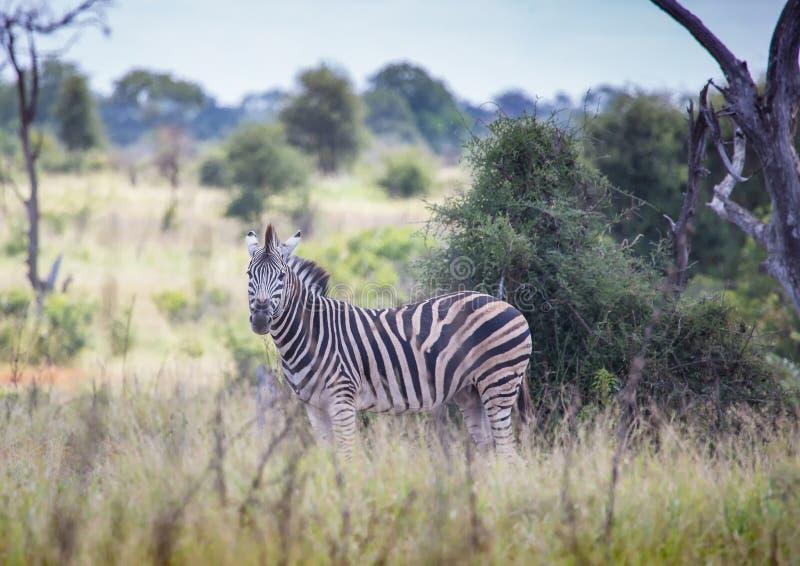 Vlakteszebra bij het Nationale Park van Kruger royalty-vrije stock foto's