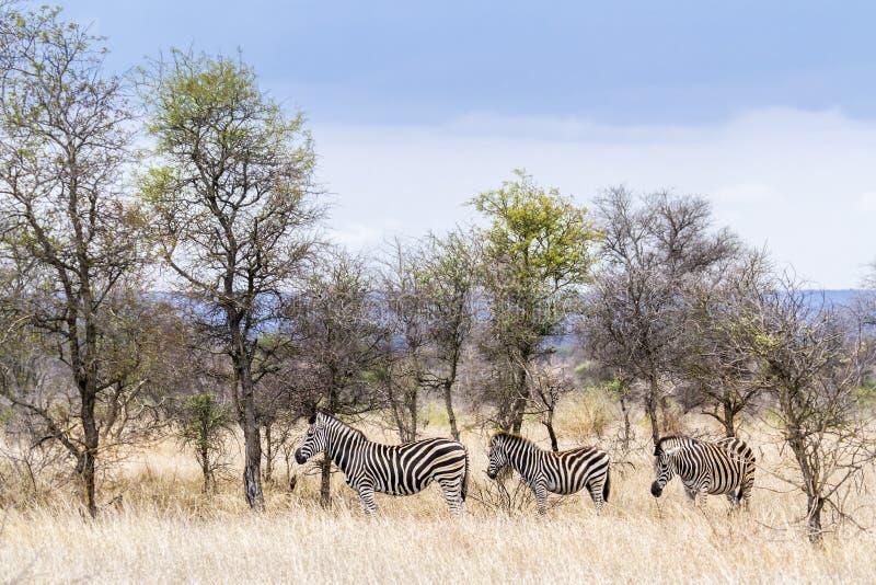 Vlakteszebra in het Nationale park van Kruger royalty-vrije stock foto