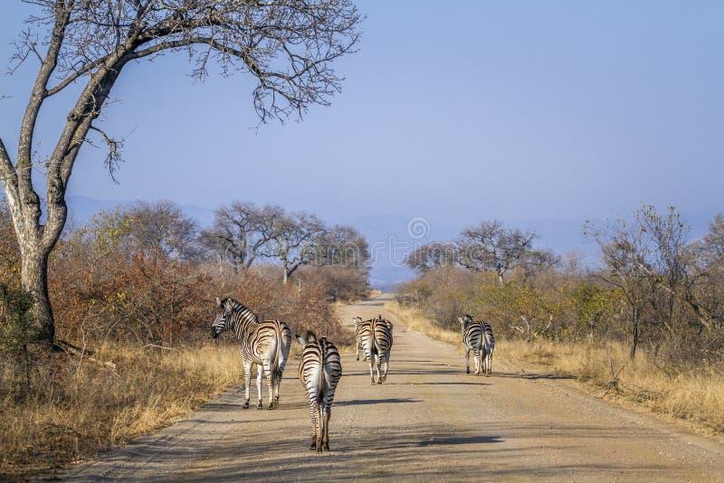 Vlakteszebra in het Nationale park van Kruger, Zuid-Afrika royalty-vrije stock afbeeldingen