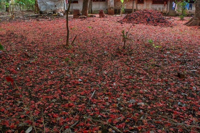 Vlamboom Gulmohar; De Bloemblaadjes van Delonixregia spreiden al overbackyard van Oude bungalow in belgaum bij karnataka uit, stock foto