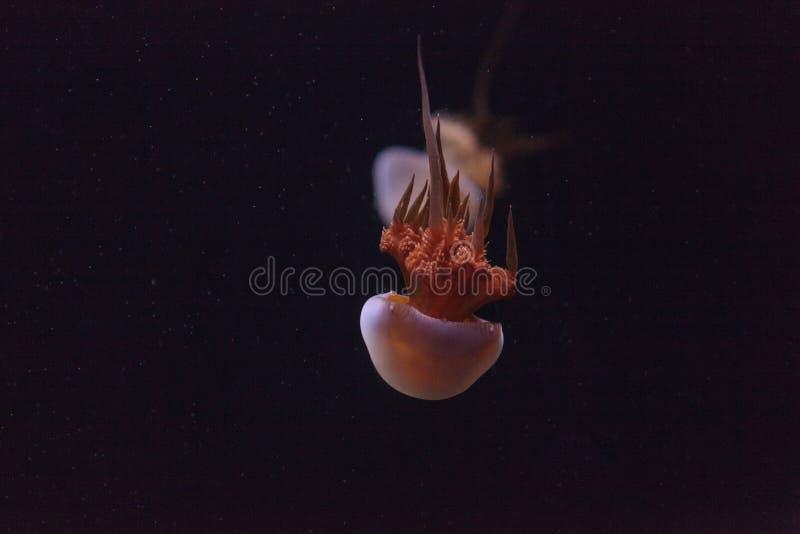 Vlamgelei, esculentum Rhopilema royalty-vrije stock foto's
