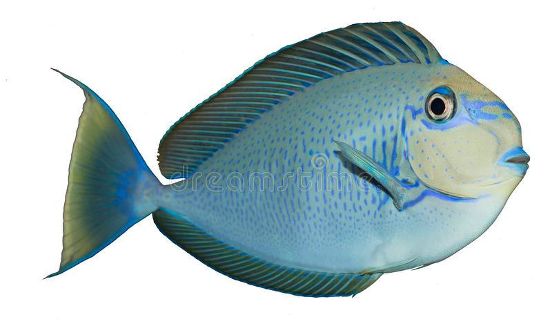 Vlamingii Tang Isolated. The Vlamingii Tang, also known as the Vlaming`s Unicornfish, or Bignose Unicornfish, has a brown to purple body color when an adult. In royalty free stock images