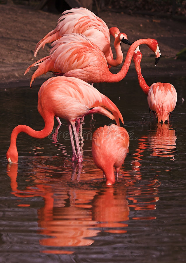 Vlammen - flamingo's royalty-vrije stock fotografie