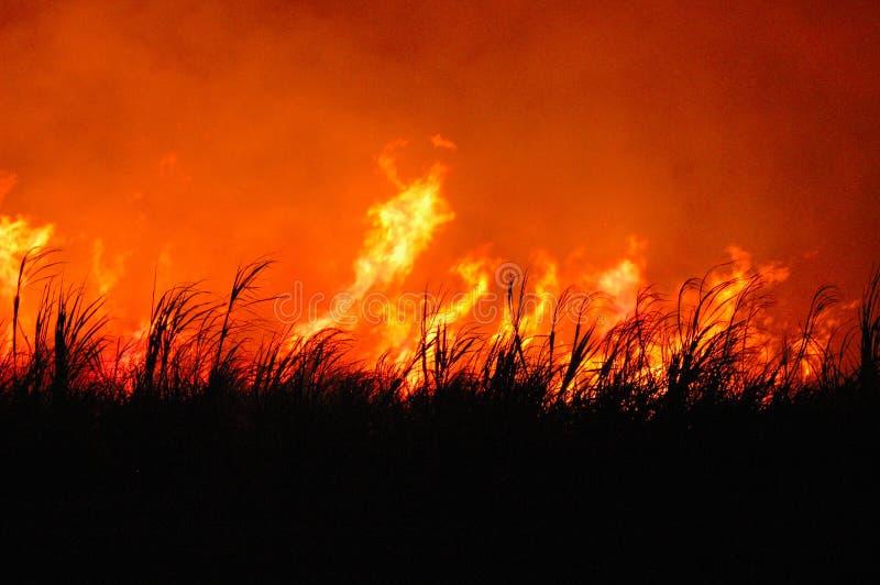 Vlammend suikerriet stock foto's
