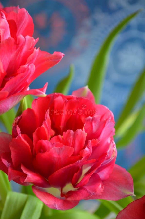 Vlammende tulp van de de lentedag stock foto's