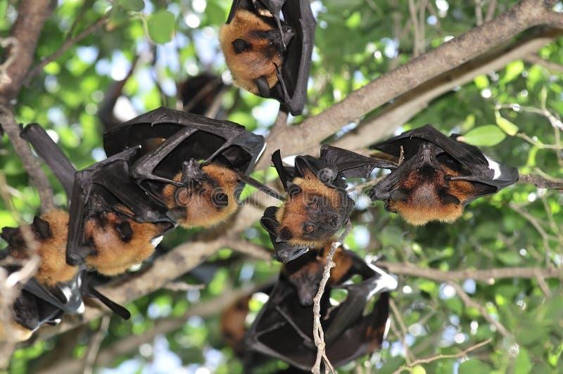 Vleerhonden in Thailand stock foto's