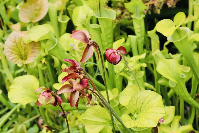 Vlees die vlieg eten die de botanische bloemen van tuininstallaties eten stock afbeeldingen