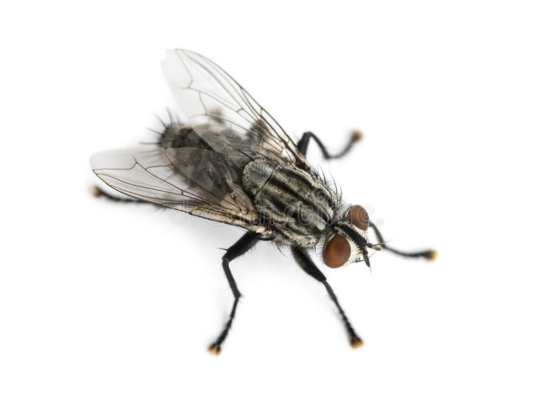 Vleesvlieg van omhoog hoog, geïsoleerde die Sarcophagidae wordt bekeken, royalty-vrije stock afbeeldingen