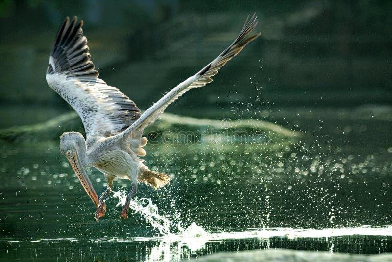 Vlek-gefactureerd pelikaan gulping water tijdens de vlucht royalty-vrije stock fotografie