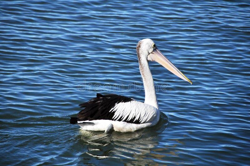 Vlek-gefactureerde pelikaan Australische Vogel in Nieuw Zuid-Wales van Australië stock fotografie