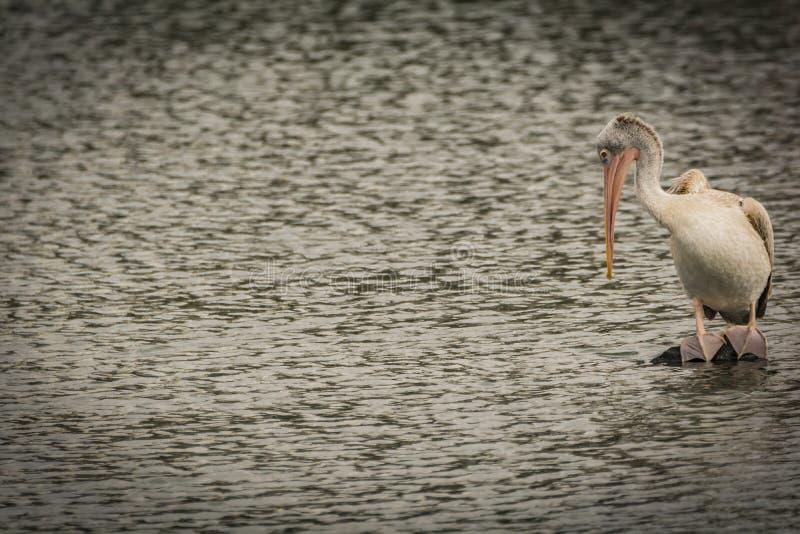 Vlek gefactureerde pelikaan met zichtbare tenen met zwemvliezen stock fotografie