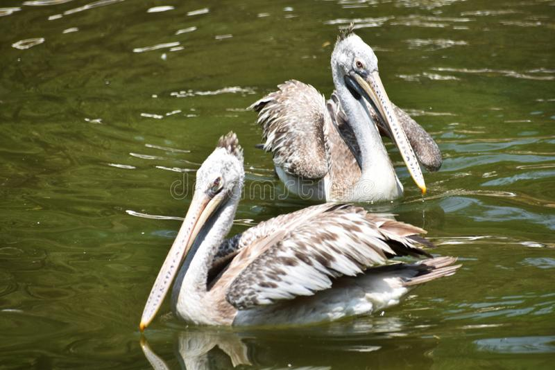 Vlek-gefactureerde pelikaan, Pelecanus-philippensis SP, Hyderabad, Telanagana, India royalty-vrije stock afbeelding