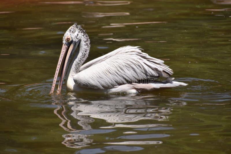 Vlek-gefactureerde pelikaan, Pelecanus-philippensis SP, Hyderabad, Telanagana, India stock afbeeldingen