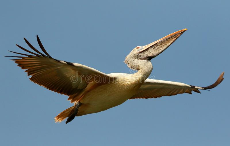 Vlek Gefactureerde Pelikaan tijdens de vlucht, Pelecanus-philippensis, het Vogelreservaat van Ranganathittu, Karnataka, India royalty-vrije stock afbeelding
