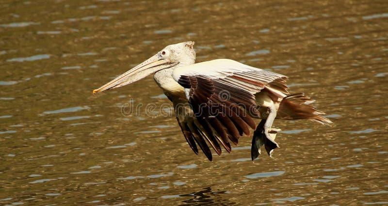 Vlek Gefactureerde Pelikaan tijdens de vlucht, Pelecanus-philippensis, het Vogelreservaat van Ranganathittu, Karnataka, India stock foto
