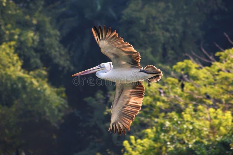 Vlek gefactureerde pelikaanvogel stock afbeelding