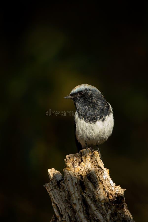 In Vlek Licht blauw - afgedekte Redstart- (Phoenicurus-caeruleocephala) royalty-vrije stock foto
