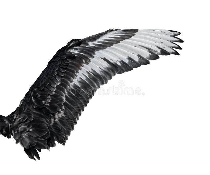 Vleugel van jonge zwarte zwaan Geïsoleerdj op witte achtergrond royalty-vrije stock afbeelding