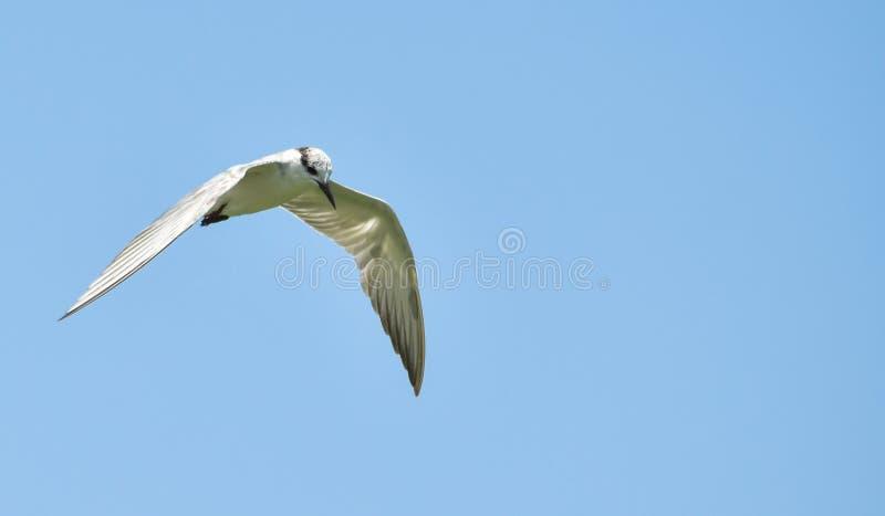 vlieg de met bakkebaarden van de vogelstern hierboven in naadloos, blauw s royalty-vrije stock afbeeldingen