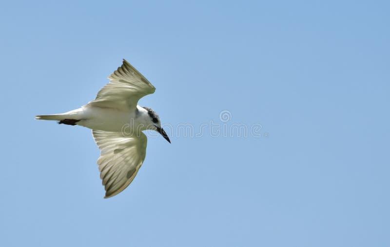 vlieg de met bakkebaarden van de vogelstern hierboven in naadloos, wolkenloos blauw s stock foto