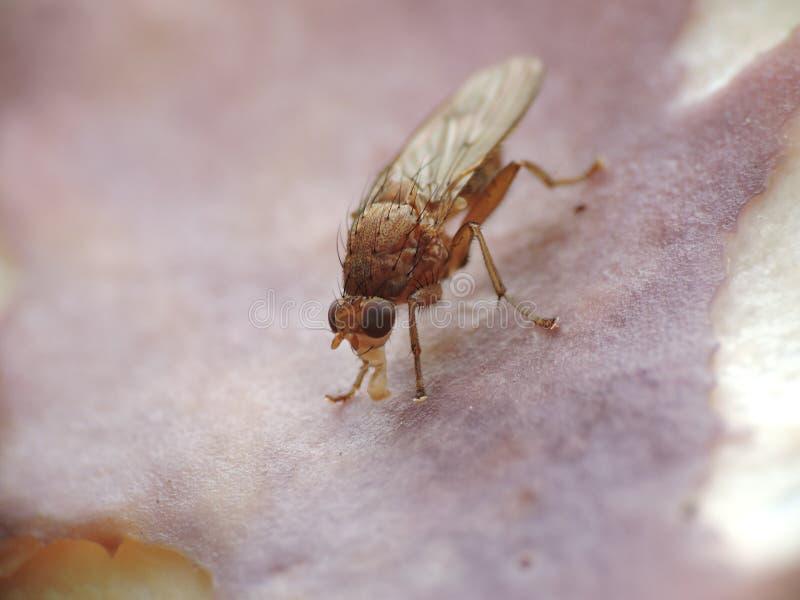 Vlieg die binnen een paddestoel eten stock afbeelding
